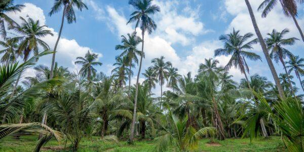 Palmtree_Land_MaeNam_Koh Samui